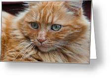 Portrait Of An Orange Kitty Greeting Card