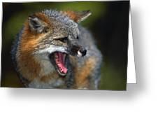 Portrait Of Gray Fox Barking Greeting Card