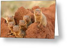 Portrait Of Seven Dwarf Mongooses Greeting Card by Roy Toft