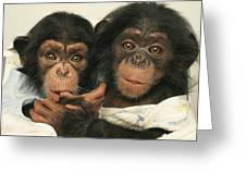 Portrait Of Two Young Laboratory Chimps Greeting Card
