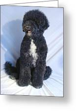 Portugese Water Dog 568 Greeting Card
