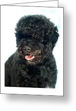 Portugese Water Dog 966 Greeting Card