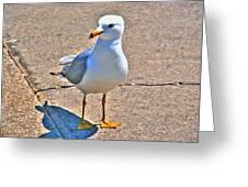 Posing Gull Greeting Card