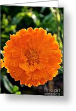 Pot Marigold  Greeting Card