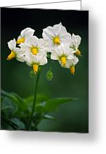 Potato Flowers (solanum Tuberosum) Greeting Card