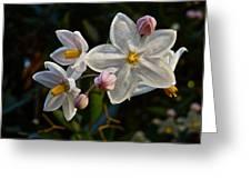 Potato Vine Blossom Greeting Card