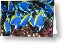 Powderblue Surgeonfish Greeting Card