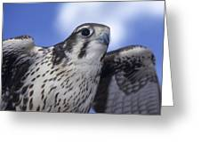 Prairie Falcon In Flight Greeting Card