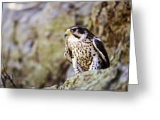 Prairie Falcon On Rock Ledge Greeting Card