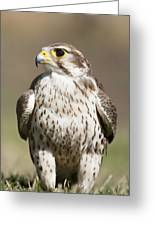 Prairie Falcon Perches On The Ground Greeting Card