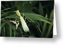 Praying Mantis With Its Shed Skin Greeting Card