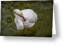 Preening. Greeting Card