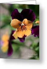 Prettiest Pansy Greeting Card