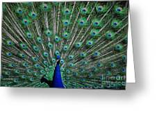 Pretty As A Peacock Greeting Card