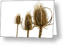Prickly Teasels On White Greeting Card