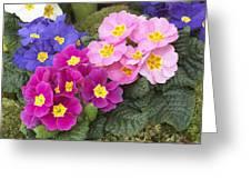 Primrose Primula Sp Flowers Greeting Card