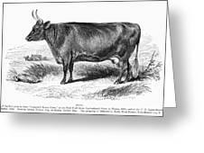 Prize Devon Cow, 1855 Greeting Card