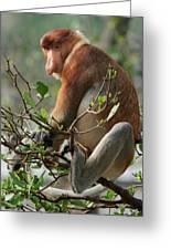 Proboscis Monkey Nasalis Larvatus Male Greeting Card