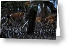 Proboscis Monkeys Travel Over Mangrove Greeting Card by Tim Laman