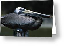 Profile Of Brown Pelican On Post Greeting Card