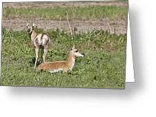 Pronghorn Antelope With Young Greeting Card