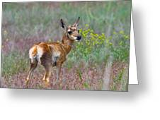 Pronghorn Fawn Greeting Card