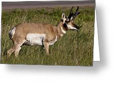 Pronghorn Male Custer State Park Black Hills South Dakota -1 Greeting Card