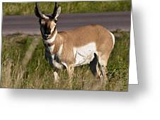 Pronghorn Male Custer State Park Black Hills South Dakota -2 Greeting Card