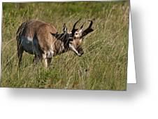 Pronghorn Male Custer State Park Black Hills South Dakota -3 Greeting Card