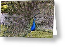 Proud Peacock At Leeds Castle Greeting Card