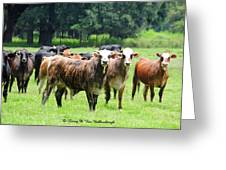Proud Steers Greeting Card
