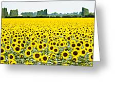 Provencial Sunflowers Greeting Card