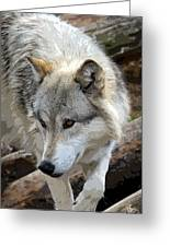 Prowling Wolf  Greeting Card