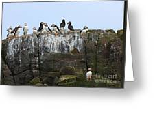 Puffins On A Cliff Edge Greeting Card