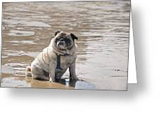 Pug Can't Be Budged Greeting Card