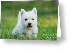 Puppy West Highland White Terrier Greeting Card