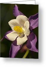 Purple And White Columbine Blossom Facing The Sun - Aquilegia Greeting Card