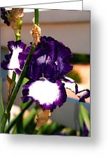 Purple And White Iris Greeting Card