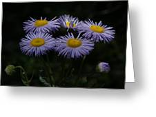Purple Asters Greeting Card