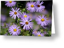 Purple Asters Greeting Card