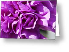 Purple Carnation Greeting Card