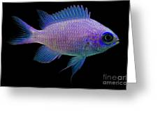 Purple Chromis Greeting Card