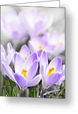 Purple Crocus Blossoms Greeting Card