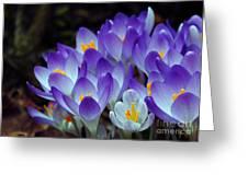 Purple Crocus Cluster Spring Choir Greeting Card