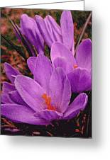 Purple Crocus With A Texture Greeting Card