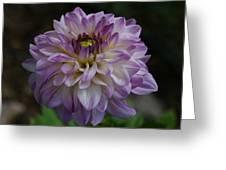 Purple Dahlia 3 Greeting Card