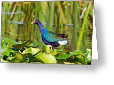 Purple Gallinule Greeting Card