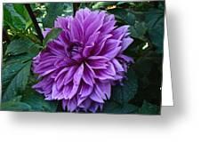 Purple Haze Dahlia Greeting Card