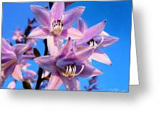 Purple Hosta Blooms Greeting Card