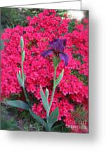 Purple Iris In Pink  Greeting Card